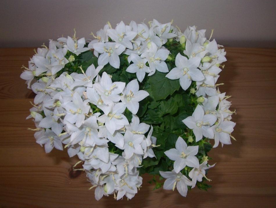 Кампанула белая - цветок невеста