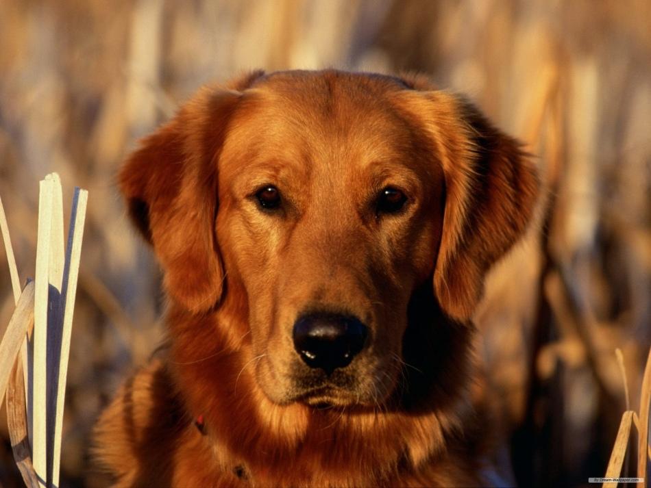 Имена для рыжих собак