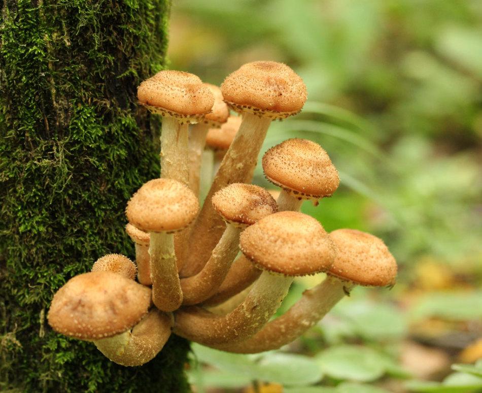 Опята - как приготовить грибную икра из вареных грибов на зиму?