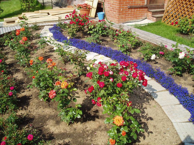 Выбор участка для посадки роз