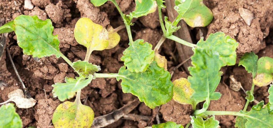 Причины пожелтения и пересыхания рассады капусты