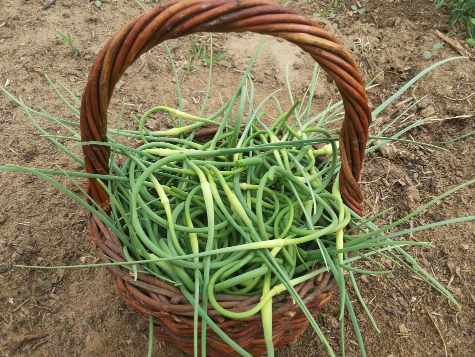 Для заготовок стрелки чеснока собирают в июле.