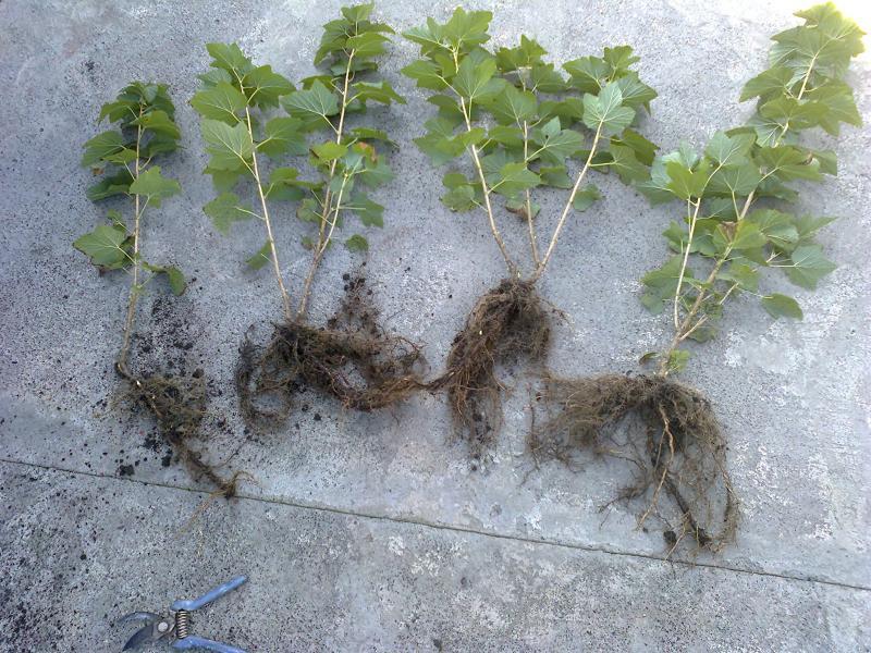 Выкопанные саженцы черной смородины перед посадкой