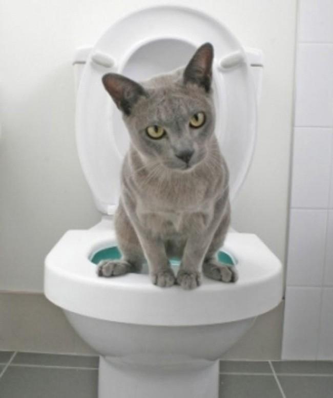 К унитазу приучают только взрослых здоровых котов, которые исправно пользуются лоточком.