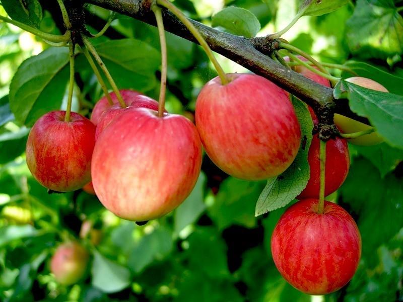Райские яблоки