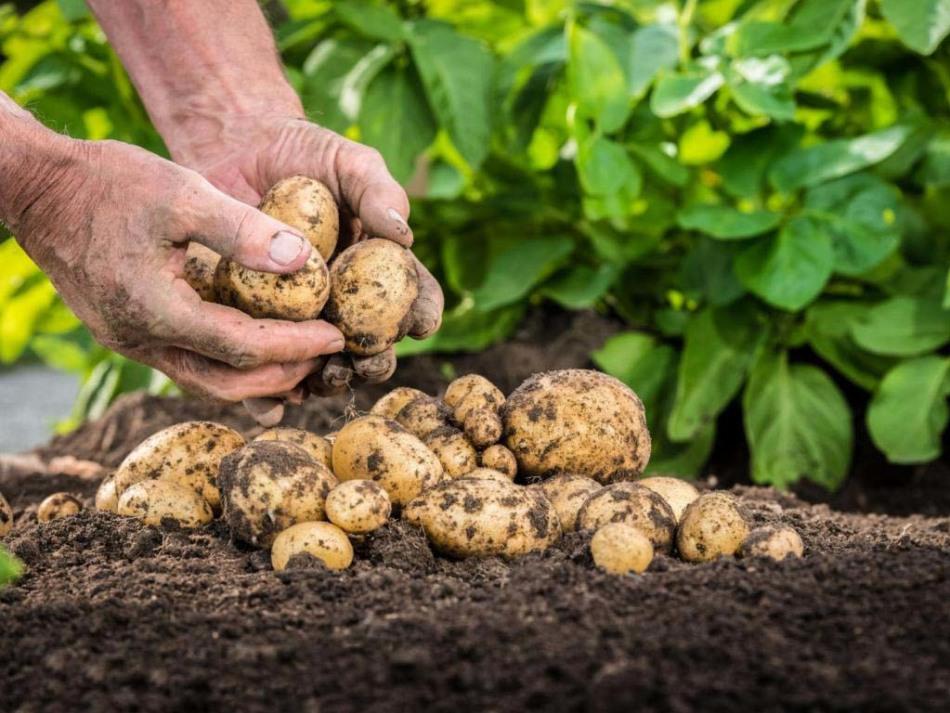 Урожай картофеля во многом зависит от растений-соседей
