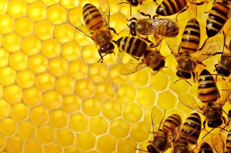 Мед и медовая пчела во сне - к прибыли
