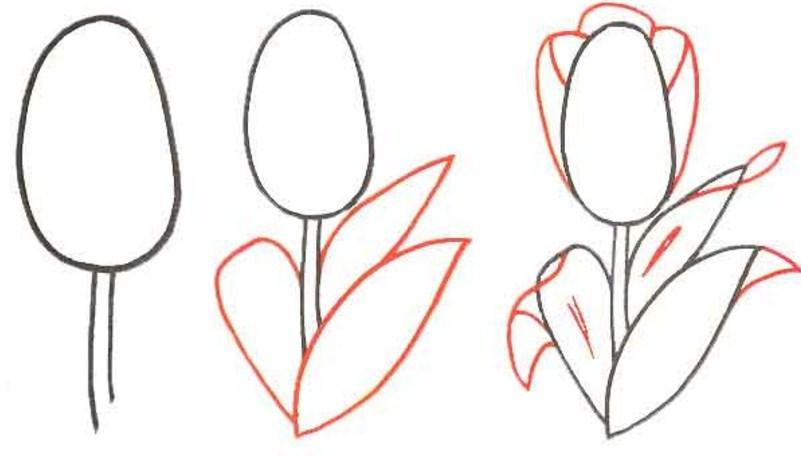 Тюльпан карандашом