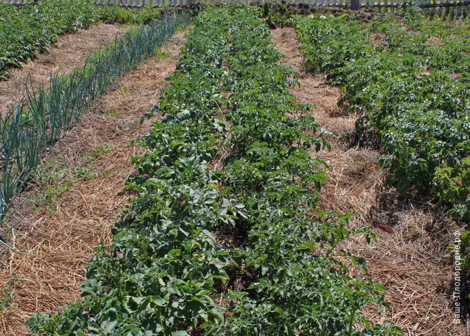 Картофель в смешанных посадках дает отличные урожаи