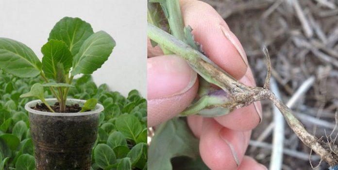 Как бороться с черной ножкой на рассаде капусты?