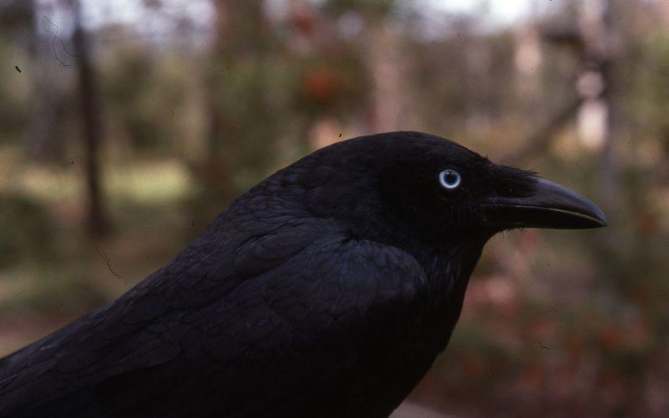 К чему приснилась черная ворона?