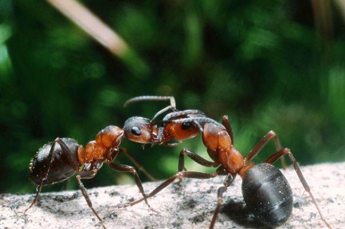 Процесс общения муравьев