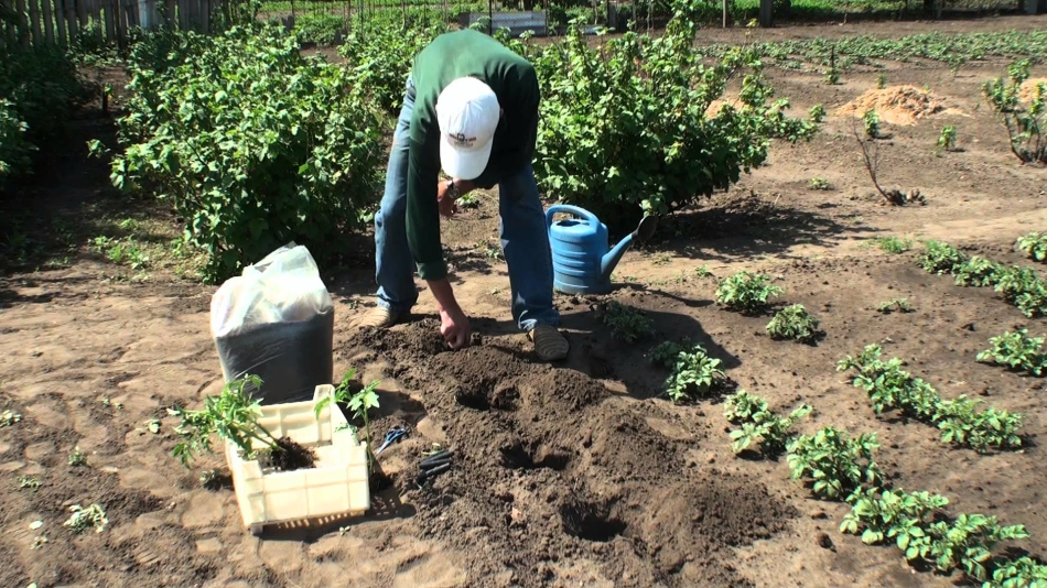 Благоприятное время для высадки томатов
