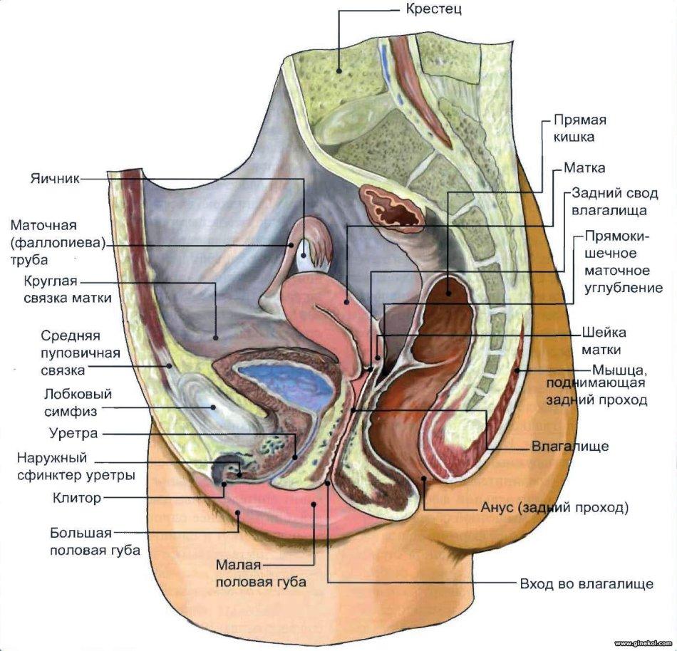 Схема женского полового органа в разрезе