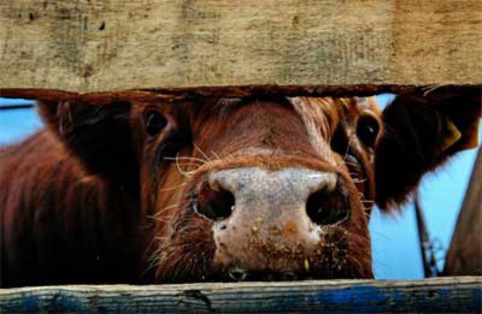 Заразиться бруцеллезом можно от крупного рогатого скота