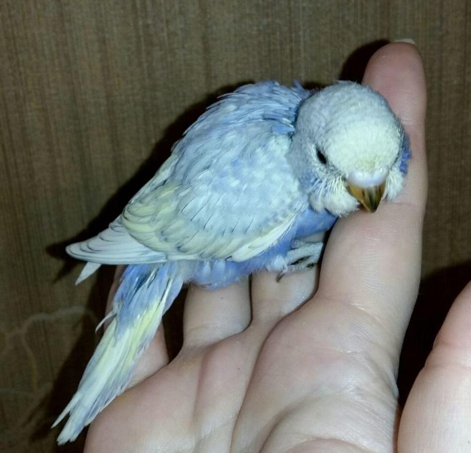 У птенца волнистого попугая оперение блеклое, а клюв - яркий