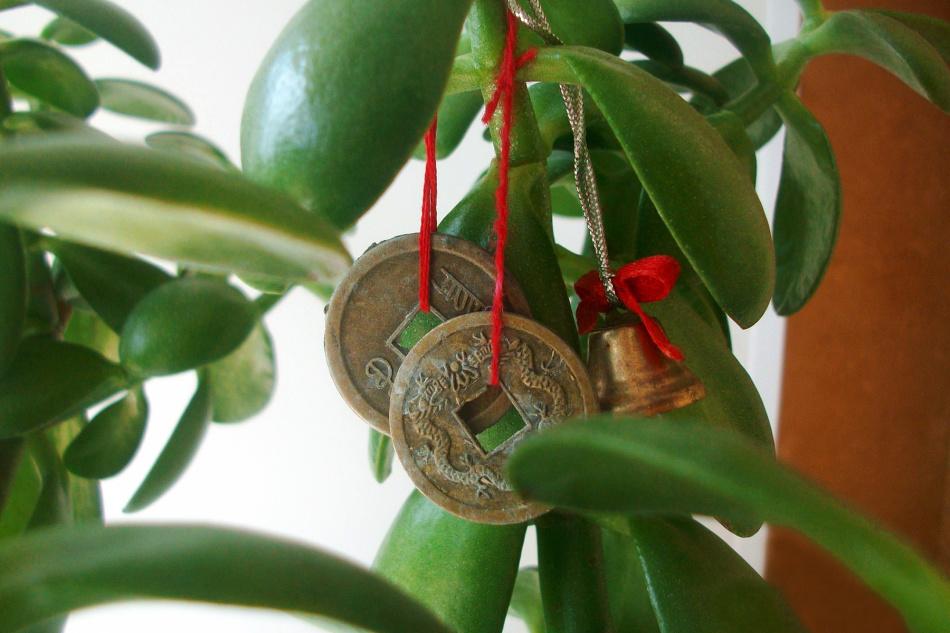 Округлые мясистые листики толстянки напоминают монетки