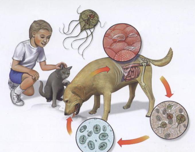 Дети могут заразиться лямблиозом от домашних животных. лечить это заболевание очень сложно
