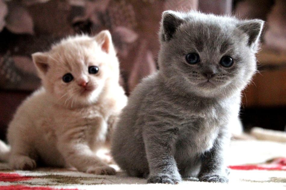 Маленьких котят по породе отличить очень трудно, это возможно только после 3 месяцев от роду