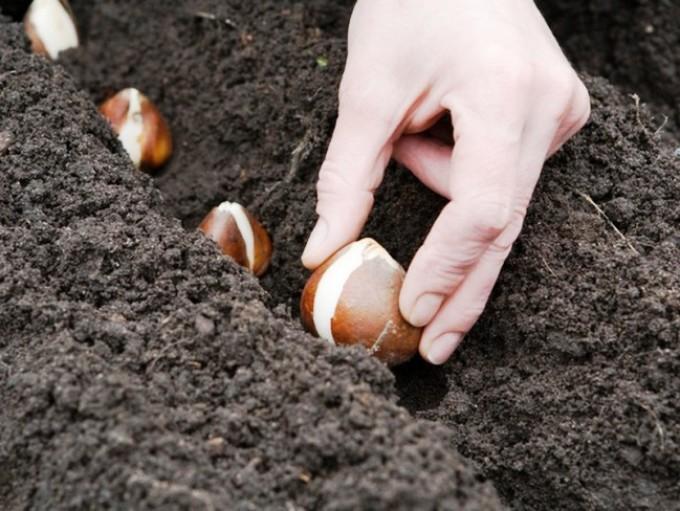 grunt-dlya-vigonki-tyulpanov Выращивание тюльпанов к 8 марта