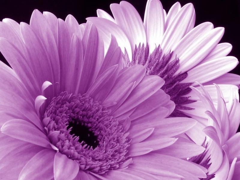 Фиолетовые герберы подойдут для {amp}quot;мужских{amp}quot; букетов
