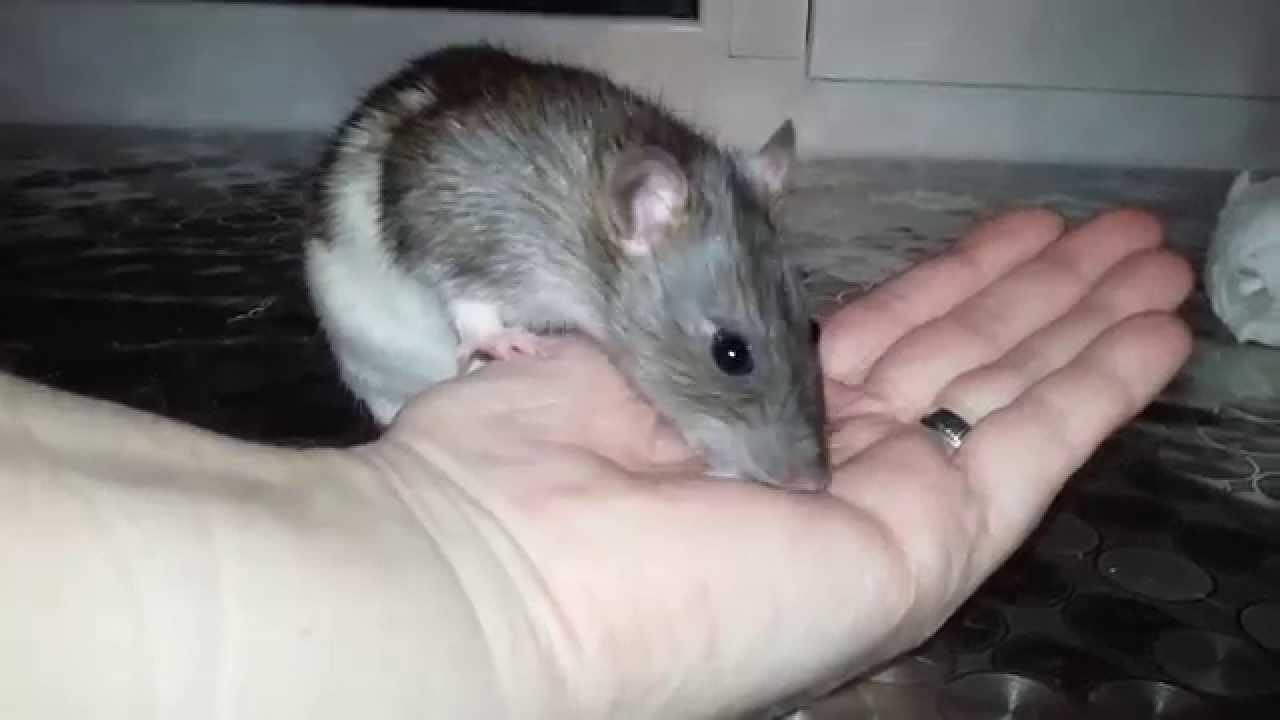 Если во сне привиделась ручная крыса, финансовое положение наяву улучшится.