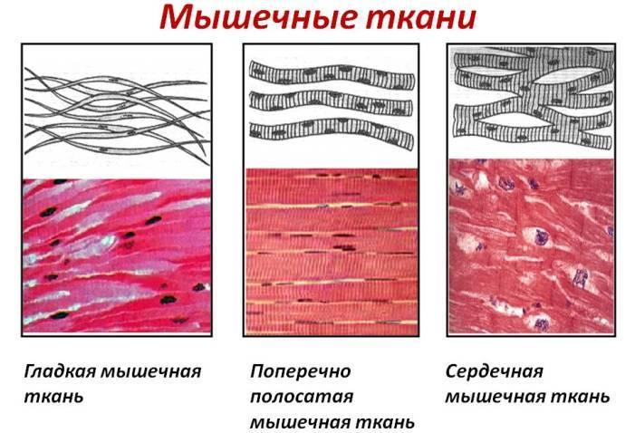 Мышечные ткани человека
