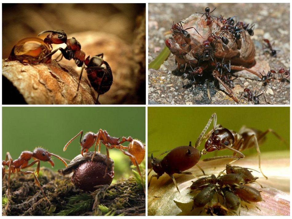 Питание огненных муравьев