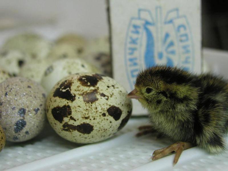 Сырые перепелиные яйца оказывают благотворное влияние на организм