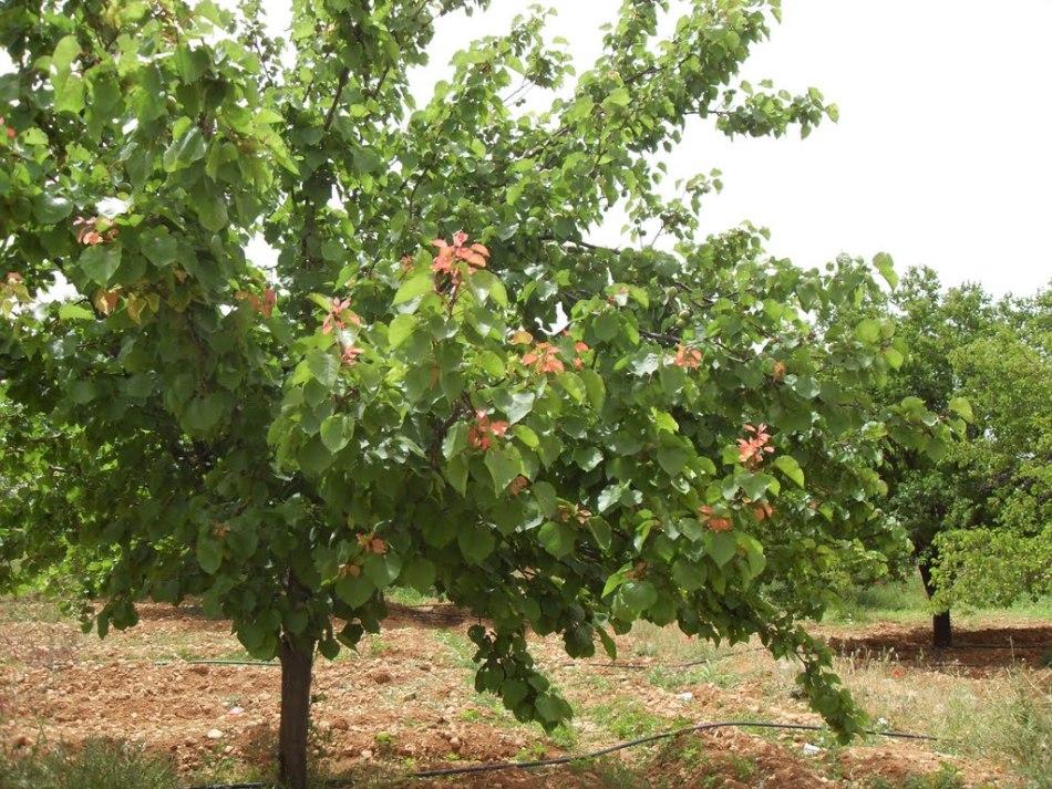Абрикос - прекрасное дерево, подходящая для изготовления рун новичками