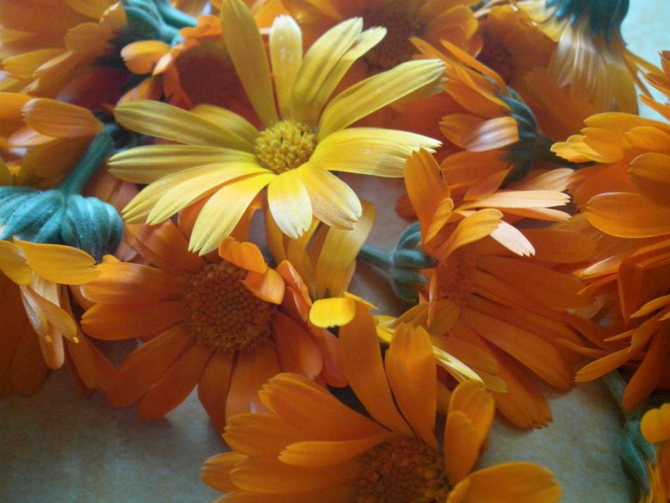 Свежесобранные цветы календулы