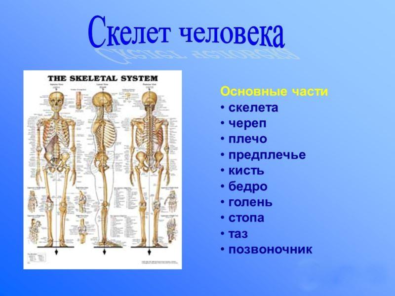 Основные части скелета