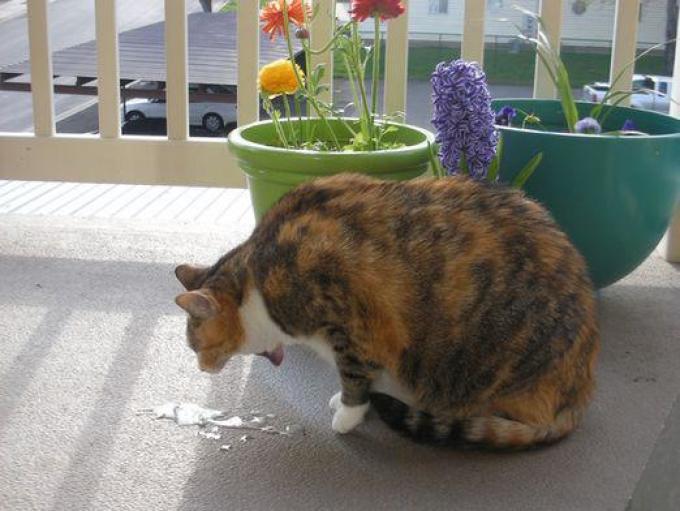 Рвотой кот чистит желудок от комков шерсти.