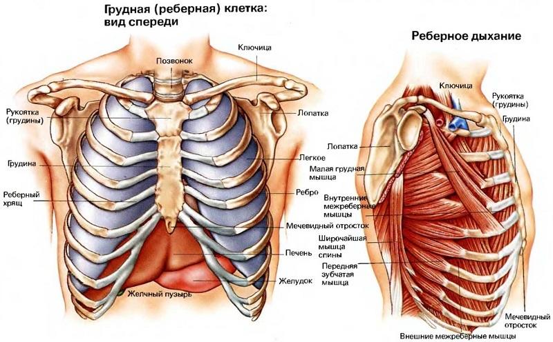 Анатомия грудной клетки