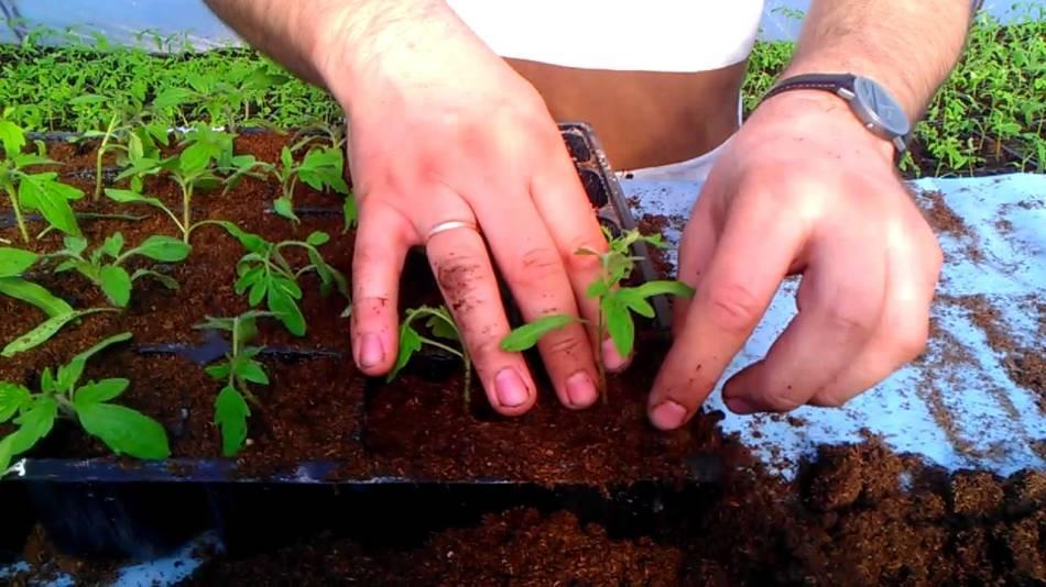 Чеорвек пересаживает рассаду помидор в другую емкость
