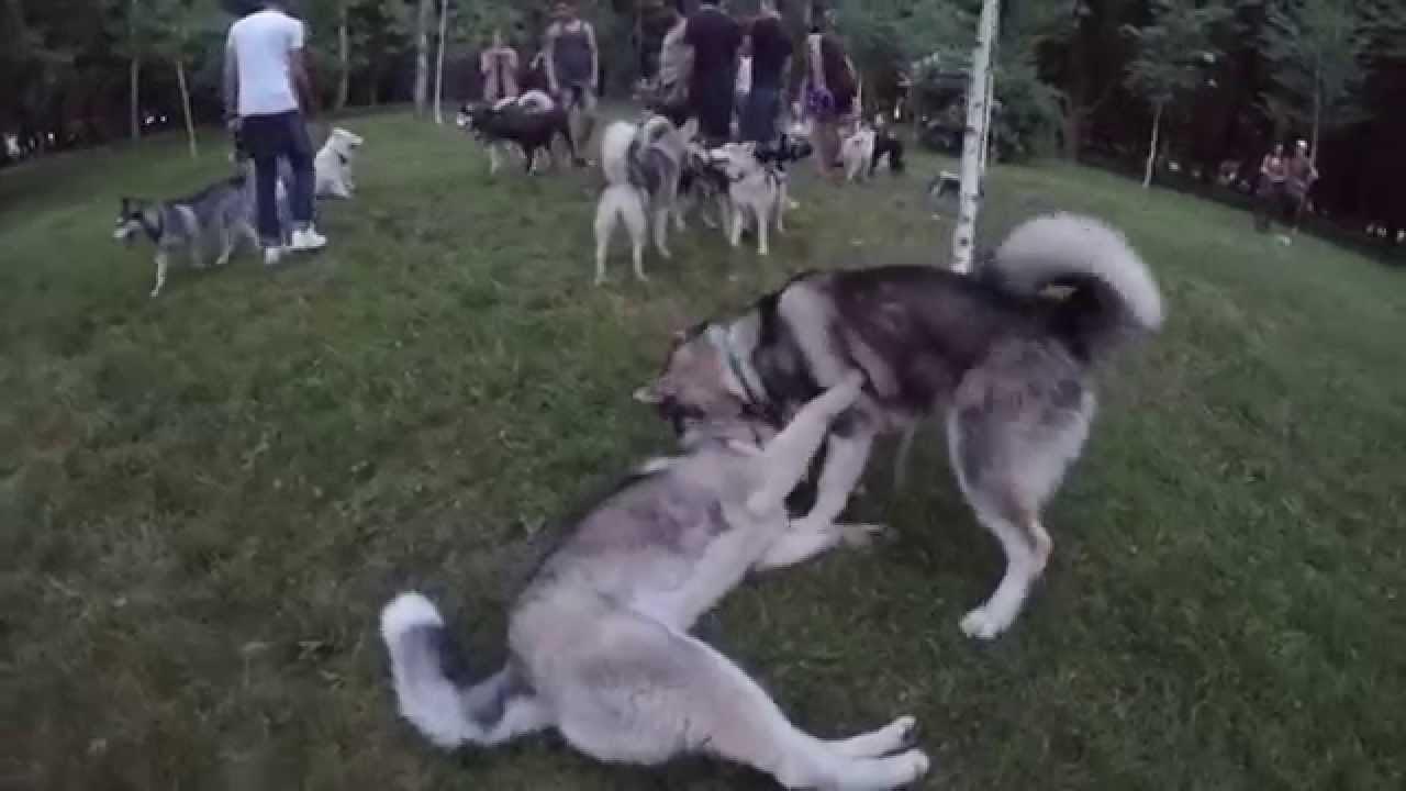 Драка собак во сне указывает на ошибки в жизни