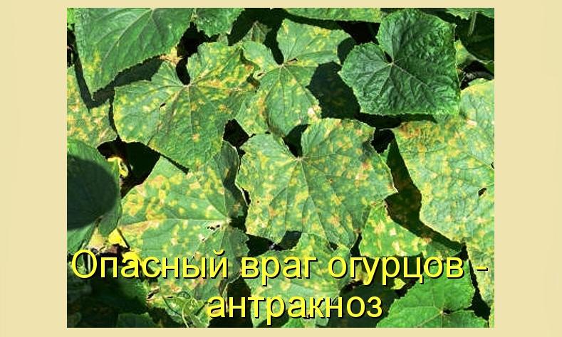 Антракноз