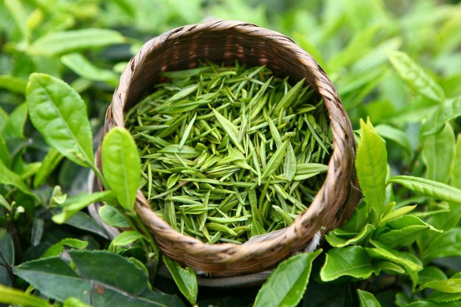 От возраста листьев зависит привкус и аромат зеленого чая
