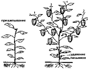 Схема прищипки и пасынковния рассады болгарского перца.