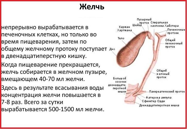 Понимаем, как устроена система вырабатывания желчи и необходимости желчного