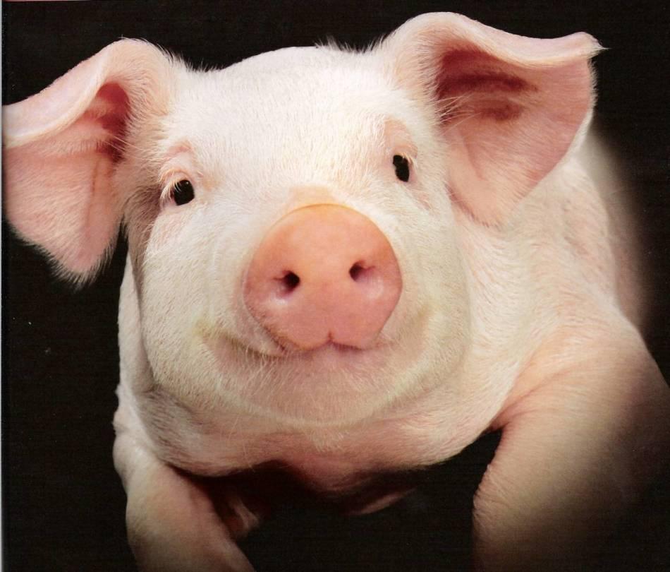 Сон со свиньей