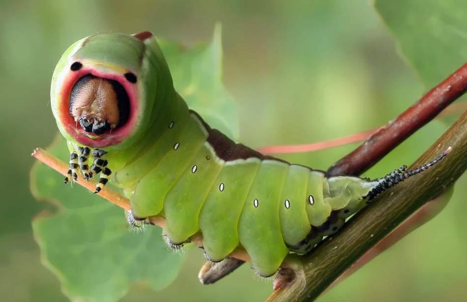 Большая гарпия cerura vinula