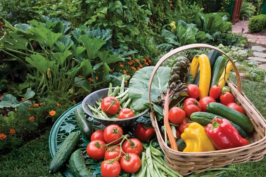 Собранные овощидля консервации на зиму