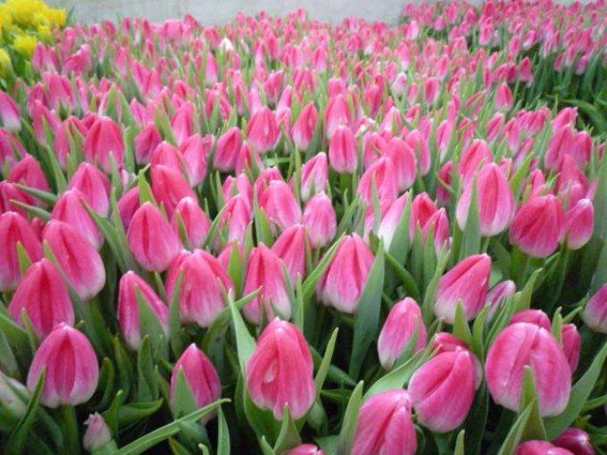 5a023e66a938bb6d757be1f512ac645b Выращивание тюльпанов к 8 марта