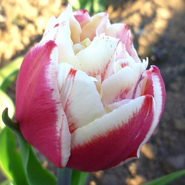 5af5ba0f4646a3f4074f4acb17b1f24c Выращивание тюльпанов к 8 марта