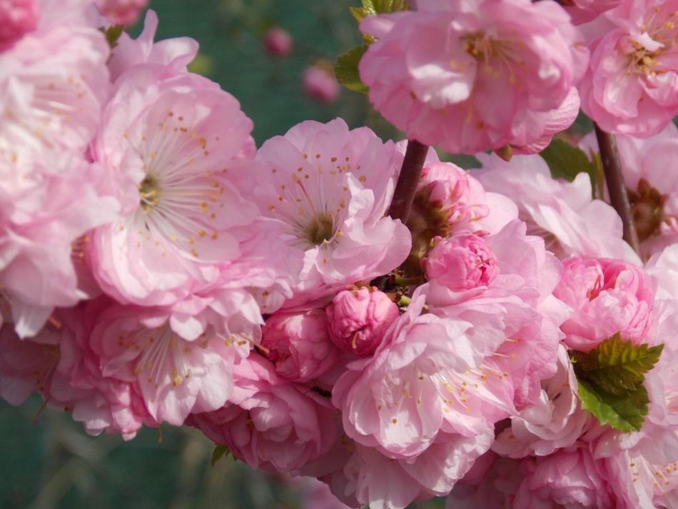 Нежное цветение кустарника