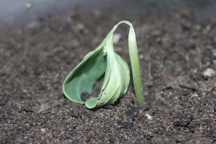 Что делать, если вянет рассада капусты?