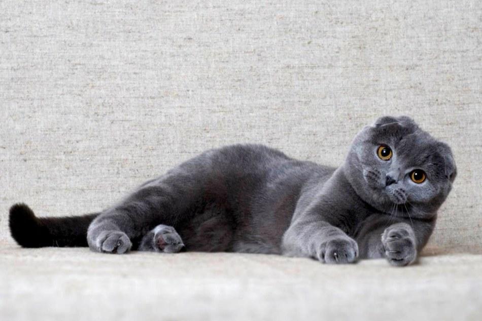 Шотландская порода кошек скоттиш-фолд
