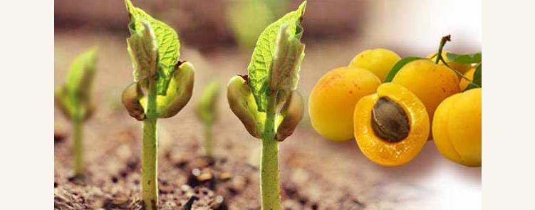 Косточки абрикоса для посадки