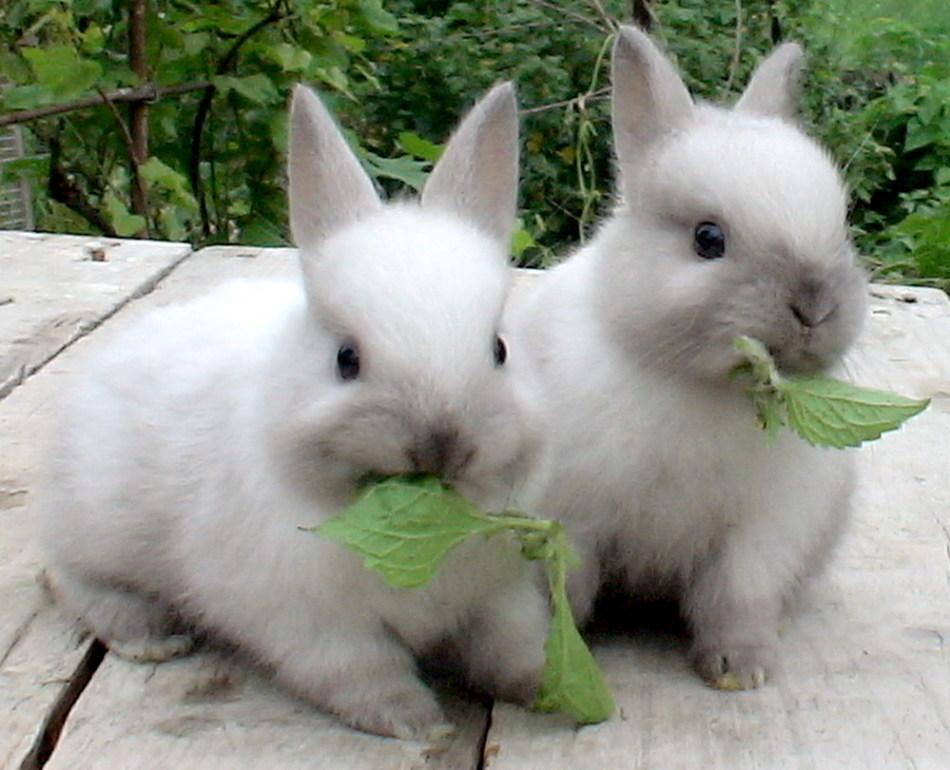 Мелкие декоративные кролики
